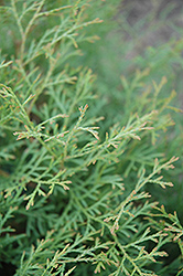 Sherwood Moss White Cedar (Thuja occidentalis 'Sherwood Moss') at Oakland Nurseries Inc