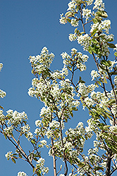 Allegheny Serviceberry (Amelanchier laevis) at Oakland Nurseries Inc