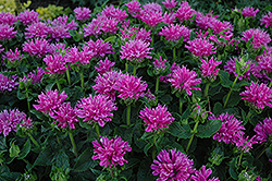 Petite Delight Beebalm (Monarda 'Petite Delight') at Oakland Nurseries Inc