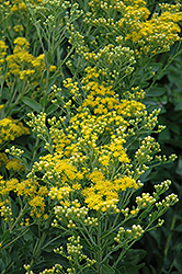 Stiff Goldenrod (Solidago rigida) at Oakland Nurseries Inc