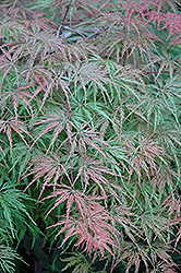 Cutleaf Japanese Maple (Acer palmatum 'Asplenifolium') at Oakland Nurseries Inc