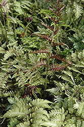 Japanese Painted Fern (Athyrium nipponicum 'Metallicum') at Oakland Nurseries Inc