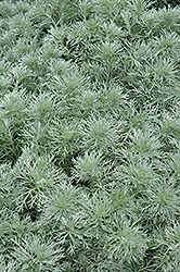 Silver Mound Artemesia (Artemisia schmidtiana 'Silver Mound') at Oakland Nurseries Inc