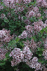 Dwarf Korean Lilac (Syringa meyeri 'Palibin') at Oakland Nurseries Inc