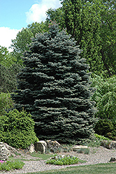 Fat Albert Blue Spruce (Picea pungens 'Fat Albert') at Oakland Nurseries Inc