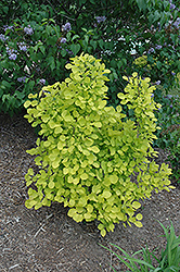 Golden Spirit Smokebush (Cotinus coggygria 'Golden Spirit') at Oakland Nurseries Inc