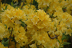 Lemon Lights Azalea (Rhododendron 'Lemon Lights') at Oakland Nurseries Inc