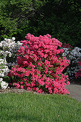 Rosy Lights Azalea (Rhododendron 'Rosy Lights') at Oakland Nurseries Inc