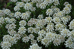 Dwarf Candytuft (Iberis sayana) at Oakland Nurseries Inc