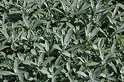Silver King Artemesia (Artemisia ludoviciana 'Silver King') at Oakland Nurseries Inc