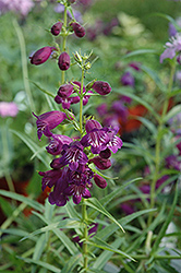 Pike's Peak Purple Beard Tongue (Penstemon x mexicali 'Pike's Peak Purple') at Oakland Nurseries Inc