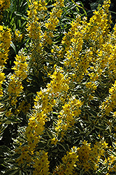 Golden Alexander Loosestrife (Lysimachia punctata 'Golden Alexander') at Oakland Nurseries Inc