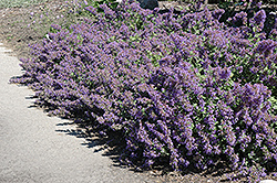 Walker's Low Catmint (Nepeta x faassenii 'Walker's Low') at Oakland Nurseries Inc