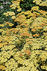 Terra Cotta Yarrow (Achillea 'Terra Cotta') at Oakland Nurseries Inc