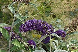 Adonis Blue™ Butterfly Bush (Buddleia davidii 'Adokeep') at Oakland Nurseries Inc