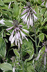 Francee Hosta (Hosta 'Francee') at Oakland Nurseries Inc