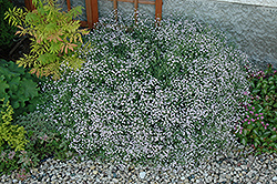 Common Baby's Breath (Gypsophila paniculata) at Oakland Nurseries Inc