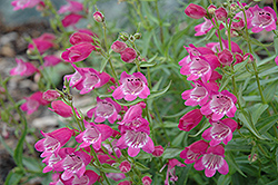 Red Rocks Beard Tongue (Penstemon x mexicali 'Red Rocks') at Oakland Nurseries Inc