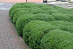 Chicagoland Green Boxwood (Buxus 'Glencoe') at Oakland Nurseries Inc