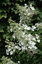 Unique Hydrangea (Hydrangea paniculata 'Unique') at Oakland Nurseries Inc