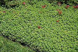 John Creech Stonecrop (Sedum spurium 'John Creech') at Oakland Nurseries Inc
