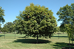 Majesty Sugar Maple (Acer saccharum