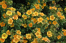 Mango Tango Potentilla (Potentilla fruticosa 'Mango Tango') at Oakland Nurseries Inc