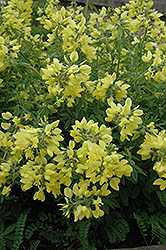 Yellow Wild Indigo (Baptisia sphaerocarpa) at Oakland Nurseries Inc
