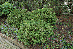 Wintergreen Boxwood (Buxus microphylla 'Wintergreen') at Oakland Nurseries Inc