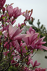 Ann Magnolia (Magnolia 'Ann') at Oakland Nurseries Inc
