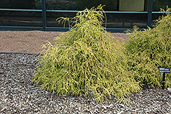 Sungold Falsecypress (Chamaecyparis pisifera 'Sungold') at Oakland Nurseries Inc