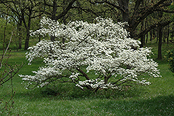 Cherokee Princess Flowering Dogwood (Cornus florida 'Cherokee Princess') at Oakland Nurseries Inc