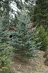 Iseli Foxtail Spruce (Picea pungens 'Iseli Foxtail') at Oakland Nurseries Inc