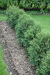 Technito® Arborvitae (Thuja occidentalis 'Bailjohn') at Oakland Nurseries Inc