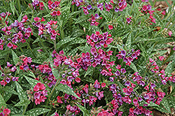 Raspberry Splash Lungwort (Pulmonaria 'Raspberry Splash') at Oakland Nurseries Inc
