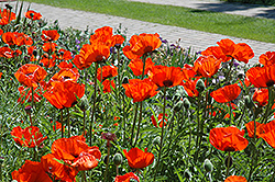 Brilliant Poppy (Papaver orientale 'Brilliant') at Oakland Nurseries Inc