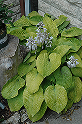 Abiqua Ariel Hosta (Hosta 'Abiqua Ariel') at Oakland Nurseries Inc