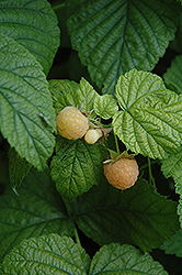 Fall Gold Raspberry (Rubus 'Fall Gold') at Oakland Nurseries Inc
