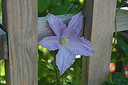 Blue Angel Clematis (Clematis 'Blue Angel') at Oakland Nurseries Inc