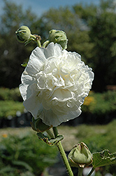 Chater's Double White Hollyhock (Alcea rosea 'Chater's Double White') at Oakland Nurseries Inc