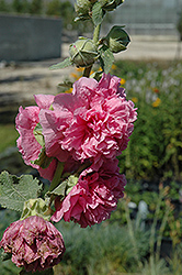 Chater's Double Pink Hollyhock (Alcea rosea 'Chater's Double Pink') at Oakland Nurseries Inc