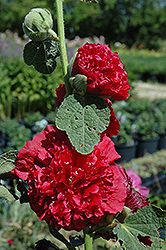 Chater's Double Red Hollyhock (Alcea rosea 'Chater's Double Red') at Oakland Nurseries Inc
