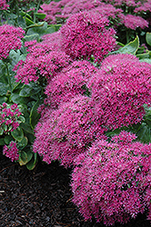 Neon Stonecrop (Sedum spectabile 'Neon') at Oakland Nurseries Inc