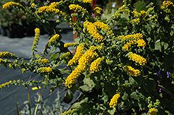 Golden Fleece Goldenrod (Solidago sphacelata 'Golden Fleece') at Oakland Nurseries Inc
