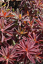 Bonfire Cushion Spurge (Euphorbia polychroma 'Bonfire') at Oakland Nurseries Inc