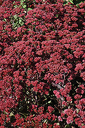 Garnet Brocade Stonecrop (Sedum 'Garbro') at Oakland Nurseries Inc