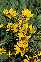 Tuscan Sun False Sunflower (Heliopsis 'Tuscan Sun') at Oakland Nurseries Inc