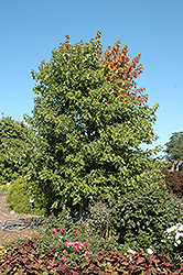 Sienna Glen Maple (Acer x freemanii 'Sienna') at Oakland Nurseries Inc