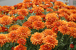 Gretchen Chrysanthemum (Chrysanthemum 'Gretchen') at Oakland Nurseries Inc