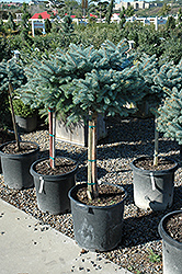 Globe Blue Spruce (tree form) (Picea pungens 'Globosa (tree form)') at Oakland Nurseries Inc